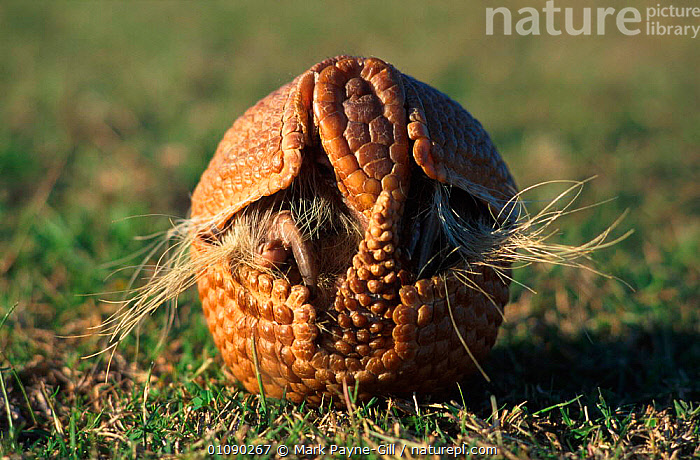 Three banded armadillo rolling up into defensive ball {Tolypeutes tricinctus}. Very tough skin consists of double layer of horn and bone, CIRCULAR,DEFENCE,DEFENISIVE,EDENTATES,MAMAMLS,ONE,SKIN,SOUTH AMERICA,TOUGH,WEIRD NATURE,MAMMALS, Mark Payne-Gill