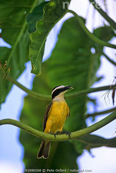 Great Kiskadee with nesting material (Pitangus sulphuratus) Pantanal, Brazil, South America, BIRDS,FLYCATCHERS,PASSERINES,PORTRAITS,SOUTH AMERICA,TREES,VERTEBRATES,VERTICAL,YELLOW,Plants, Pete Oxford