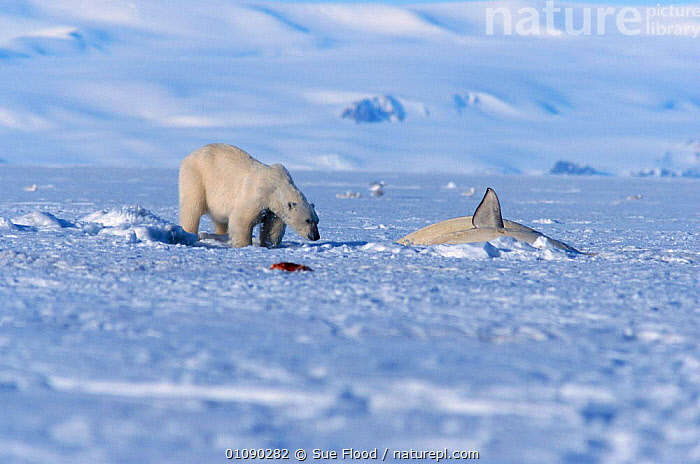 Polar bear {Ursus maritimus} about to attack Beluga whale trapped in ice hole. Canadian high arctic, summer savssat delphinapterus leucas, ARCTIC,BEHAVIOUR,CANADA,CARNIVORES,CETACEANS,HORIZONTAL,MAMMALS,MIXED SPECIES,PREDATION,SF,SNOW,TRAPPED,WHITE,NORTH AMERICA, Sue Flood