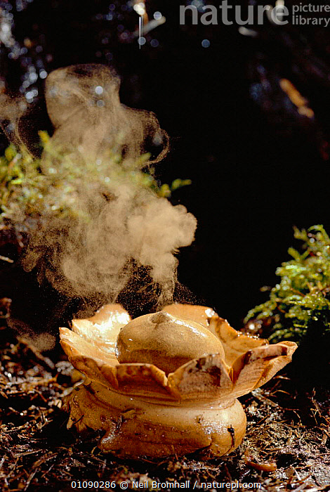 Earthstar ejecting spores {Geastrum sp} UK - spores ejected by the force of raindrops  ,  DISPERSAL, ENGLAND, EUROPE, FUNGI, FUNGUS, GEASTRACEAE, REPRODUCTION, UK, VERTICAL,United Kingdom,,Dispersal,  ,  Neil Bromhall