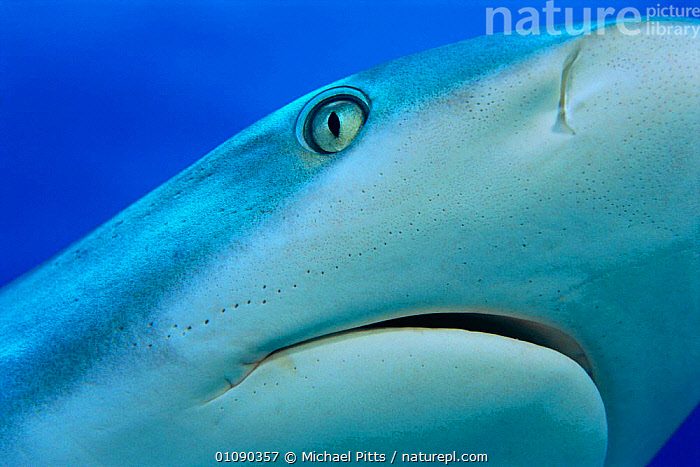 Grey reef shark close up {Carcharhinus amblyrhynchos} Grand Bahamas, Caribbean, CARIBBEAN,CLOSE UP,CLOSE UPS,COASTAL WATERS,EYE,EYES,FISH,HORIZONTAL,MARINE,MOUTH,MOUTHS,MP,TROPICAL,UNDERWATER,SHARKS,West Indies, Fish, Michael Pitts