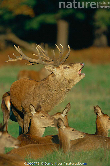 Red deer stag calling in rut {Cervus elaphus} with hinds nearby, Richmond Park, London, UK, ARTIODACTYLA,BEHAVIOUR,BRITISH,COURTING,DISPLAY,DK,DOMINANCE,FEMALES,GROUPS,MALES,MAMMALS,PARK,REPRODUCTION,RESERVE,RICHMOND,RUT,STAG,UK,VERTICAL,VOCALISATION,WILDLIFE,EUROPE,UNITED KINGDOM,COMMUNICATION,GettyBOV,Hierarchy,Hierarchical,,Nature reclamation, David Kjaer