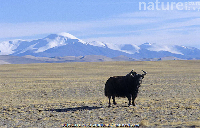 Wild yak (Bos mutus) on Tibetan plateau, Quinghai, China, vulnerable species, ARTIODACTYLA,ASIA,BOVIDS,CATTLE,CHINA,DESERTS,ENDANGERED,LANDSCAPES,MAMMALS,MOUNTAINS,PORTRAITS,SNOW,VERTEBRATES, XI ZHINONG
