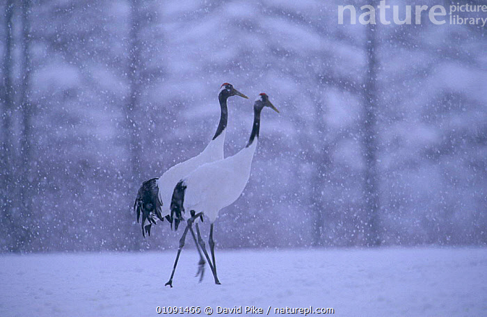 Japanese cranes in snow storm {Grus japonensis} Tsurui Mura, Japan, ASIA,BIRDS,DPI,ENDANGERED,HORIZONTAL,JAPAN,MALE FEMALE PAIR,OUTSTANDING,PAIR,SNOW,SNOWING,STORM,STORMS,TWO,VERTICAL,WEATHER,WINTER,Catalogue1, David Pike