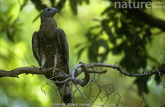 Oriental honey buzzard {Pernis ptilorhynchus} perched in forest canopy, Ranthambhore NP, Rajasthan, India  ,  ASIA,BIRDS,BIRDS OF PREY,INDIAN SUBCONTINENT,KITES,LOW ANGLE SHOT,NP,VERTEBRATES,National Park  ,  Nick Garbutt