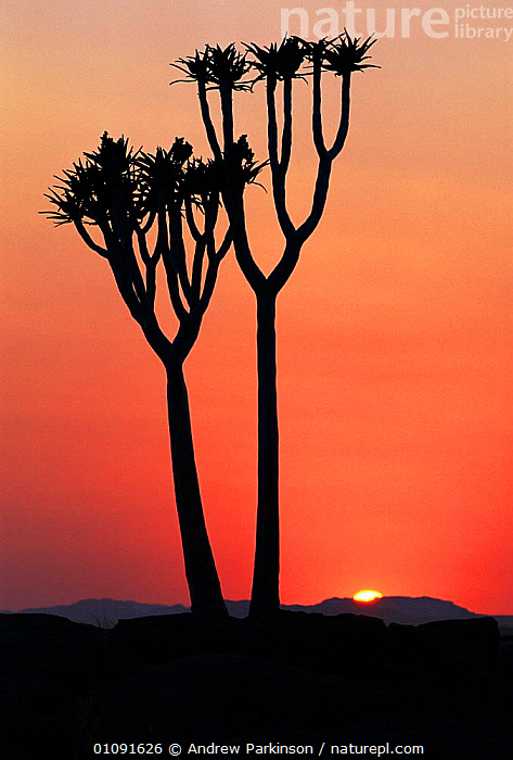 Quiver tree {Aloe dichotoma} at dawn with sun rising Naukluft NP, Namibia, AFRICA,ANDREW,APA,DAWN,LANDSCAPES,NAMIBIA,NATIONAL PARK,NP,OUTSTANDING,PLANTS,RESERVE,SCENIC,SILHOUETTES,SOUTHERN AFRICA,SUNRISE,TREES,VERTICAL, Andrew Parkinson