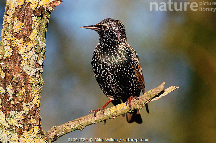 Common starling {Sturnus vulgaris} Warwickshire, UK  ,  BIRD,BIRDS,BRITISH,ENGLAND,EUROPE,HORIZONTAL,MW,ONE,OUTSTANDING,UK,VERTICAL,WILDLIFE,UNITED KINGDOM  ,  Mike Wilkes