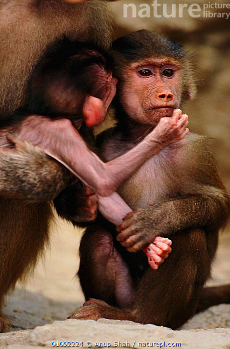Hamadryas baboon young playing {Papio hamadryas}  ,  ANUP,AS,BABIES,CAPTIVE,COMMUNICATION,FAMILIES,MAMMALS,PLAY,PLAYING,PRIMATES,TWO,VERTICAL,MONKEYS  ,  Anup Shah