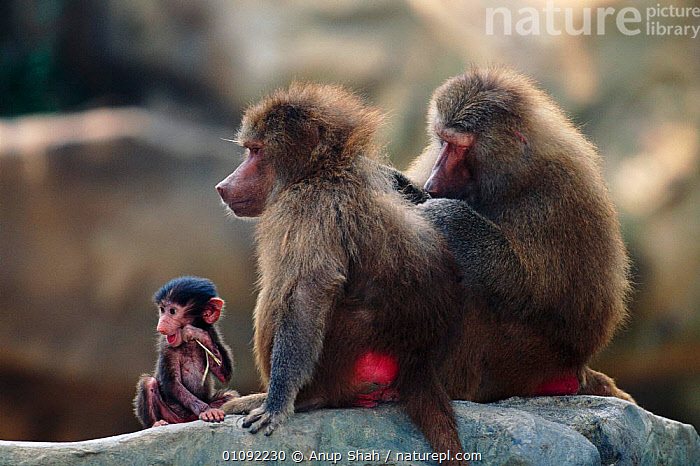 Hamadryas baboons grooming with young chewing stick {Papio hamadryas}, AS,BABIES,CAPTIVE,FAMILIES,GROOMING,HORIZONTAL,MAMMALS,PRIMATES,SOCIAL BEHAVIOUR,THREE,MONKEYS, Anup Shah