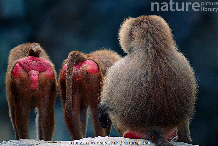 Hamadryas baboons display red bottoms {Papio hamadryas} C  ,  BEHINDS,BOTTOMS,CAPTIVE,DISPLAY,FEMALES,HUMOROUS,HUMOUROUS,MAMMALS,MATING BEHAVIOUR,NORTH AFRICA,PRIMATES,RED,,THREE ,SEX ORGANS,AFRICA,CONCEPTS,REPRODUCTION,COMMUNICATION,MONKEYS  ,  Anup Shah