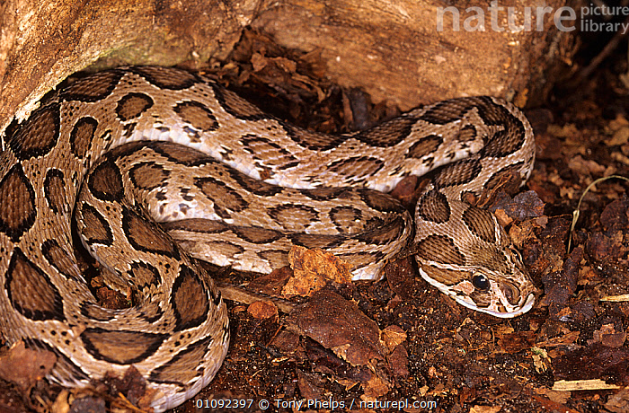 Russell's viper {Vipera russelli} Captive, from Sri Lanka  ,  HIGH-ANGLE-SHOT, INDIAN-SUBCONTINENT, POISONOUS, REPTILES, SNAKES, UK, VERTEBRATES, Viperidae, VIPERS,Asia,Europe,United Kingdom  ,  Tony Phelps