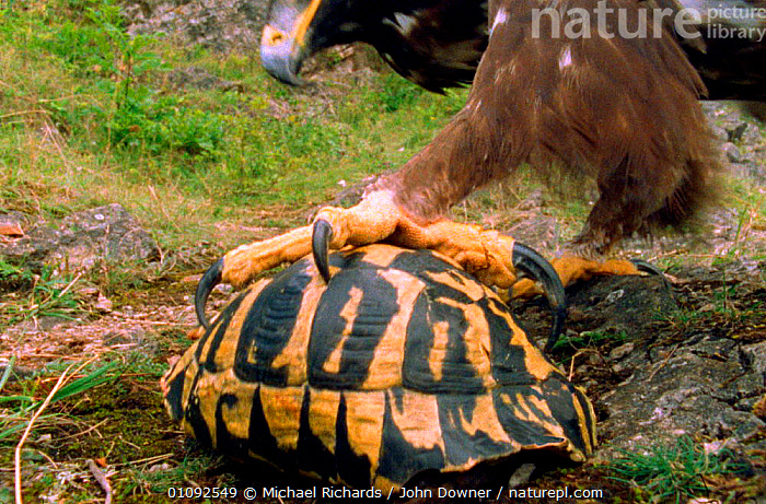 Eagle cannot open a tortoise's shell so it has to pick it up in talons and drop it on stones to break open (Resolution restriction - image digitised from film, 'Weird Nature' tv series), ,BIRDS,CLAWS,FEET,HORIZONTAL,PREDATION,PROTECTION,REPTILES,SHELL,TALONS,WEIRD NATURE ,BIRDS OF PREY,BEHAVIOUR,EAGLES,RAPTOR, Michael Richards / John Downer