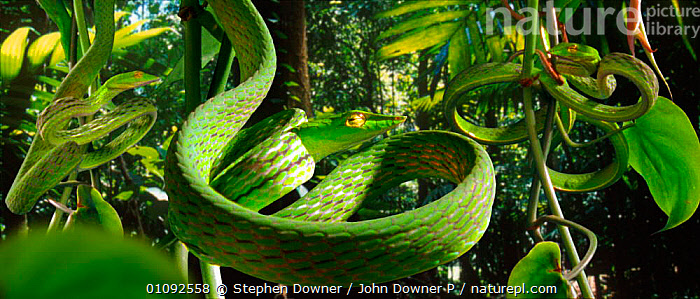 Vine snakes (Dryophis nasuta) imitate curled tendrils of foliage to conceal themselves in the rainforest (Resolution restriction - image digitised from film, 'Weird Nature' tv series)  ,  CAMOUFLAGE, COLUBRIDS, GREEN, HORIZONTAL, PLANTS, REPTILES, SNAKES, TENDRILS, GROUPS, tropical-rainforest, VERTEBRATES  ,  Stephen Downer / John Downer P