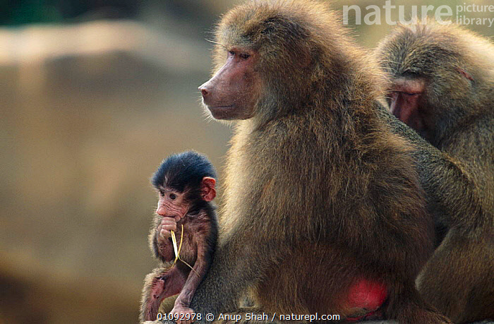 Hamadryas baboon {Papio hamadryas} with baby.  Occurs Ethiopia, East Africa  ,  BABIES,BABY,CAPTIVE,FAMILIES,MAMMALS,PRIMATES,MONKEYS  ,  Anup Shah