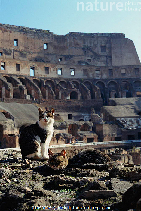 Feral cats {Felis catus} at Coliseum ruins, Rome, Italy  ,  ANCIENT,BUILDINGS,EUROPE,ITALY,MAMMALS,MEDITERRANEAN,NUP,PETS,ROME,RUINS,TWO,VERTICAL  ,  Nick Upton