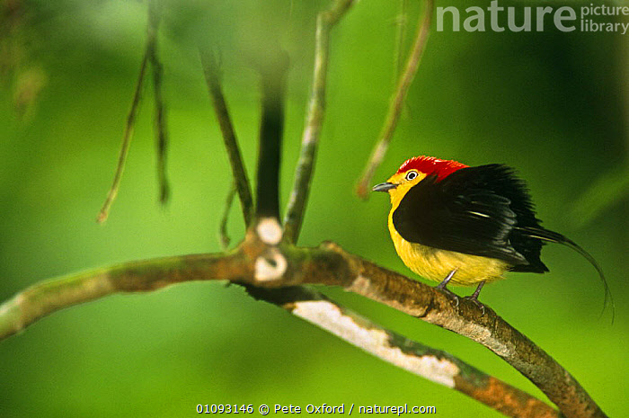 Male Wire tailed manakin displaying {(Teleonema filicauda) Yasuni NP, Ecuador  ,  BEHAVIOUR,BIRDS,COLOURFUL,COURTSHIP,DISPLAY,DISPLAYING,MALES,MANAKINS,NP,PASSERINES,SOUTH AMERICA,TROPICS,VERTEBRATES,Communication,National Park  ,  Pete Oxford