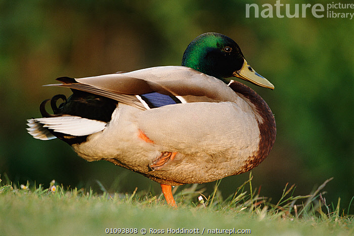 Mallard drake standing on one leg {Anas platyrhynchos} Cornwall, UK  ,  BIRD,BIRDS,BRITISH,ENGLAND,EUROPE,HORIZONTAL,LEG,MALES,NIRD,PROFILE,RHD,UK,WATERFOWL,WETLANDS,WILDLIFE,UNITED KINGDOM,WILDFOWL  ,  Ross Hoddinott