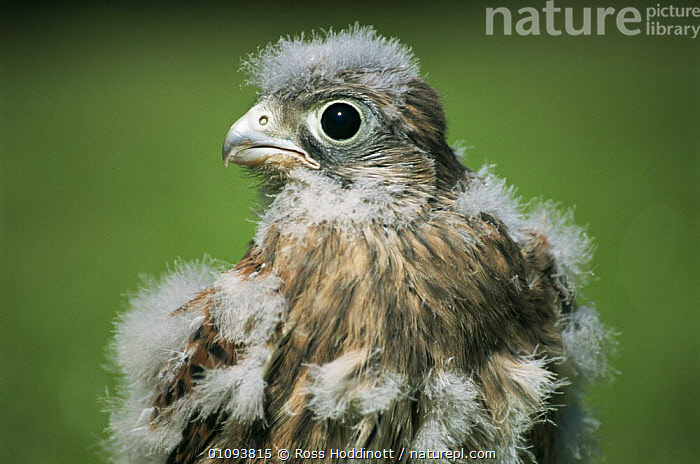 Juvenile Kestrel moulting {Falco tinnunculus} Clovelly, Devon, UK.  ,  BIRDS,BIRDS OF PREY,ENGLAND,EUROPE,EYES,FALCONS,FEATHERS,FLEDGING,HORIZONTAL,JUVENILE,UK,VERTEBRATES,United Kingdom,British  ,  Ross Hoddinott