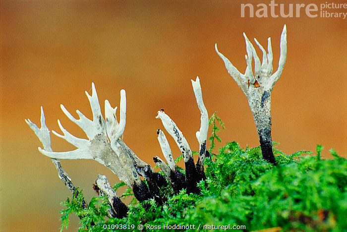 Candle snuff fungus {Xylaria hypoxolon} Devon, UK  ,  BOV, ENGLAND, EUROPE, FUNGI, FUNGUS, HORIZONTAL, PYRENEMOMYCETIDAE, UK,United Kingdom  ,  Ross Hoddinott