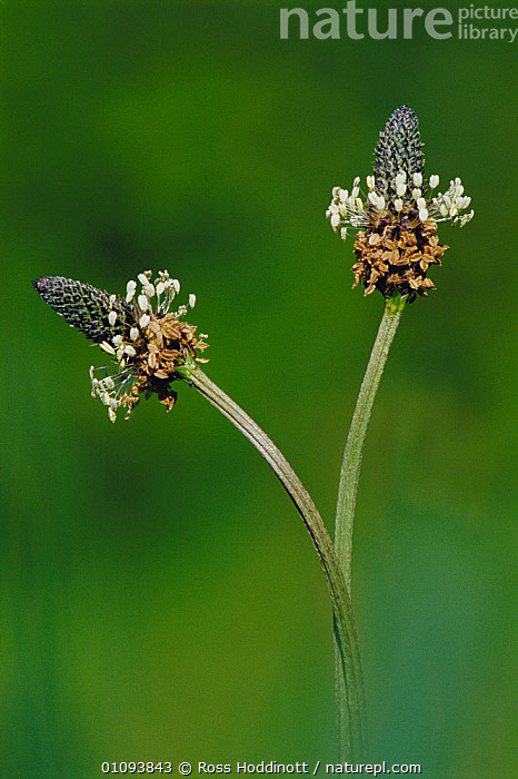 Ribwort plantain flowering {Plantago lanceolata} Cornwall, UK  ,  ENGLAND,EUROPE,FLOWERS,LANCEOLATA,PLANTAINS,PLANTS,TWO,VERTICAL  ,  Ross Hoddinott