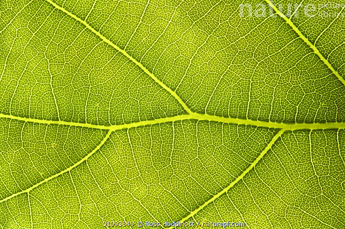 Close-up of English oak tree leaf {Quercus robur} showing veins  ,  CLOSE UPS,DICOTYLEDONS,ENGLAND,EUROPE,FAGACEAE,GREEN,HORIZONTAL,LEAVES,PLANTS,TREES,UK,VERTICAL,United Kingdom,British  ,  Ross Hoddinott