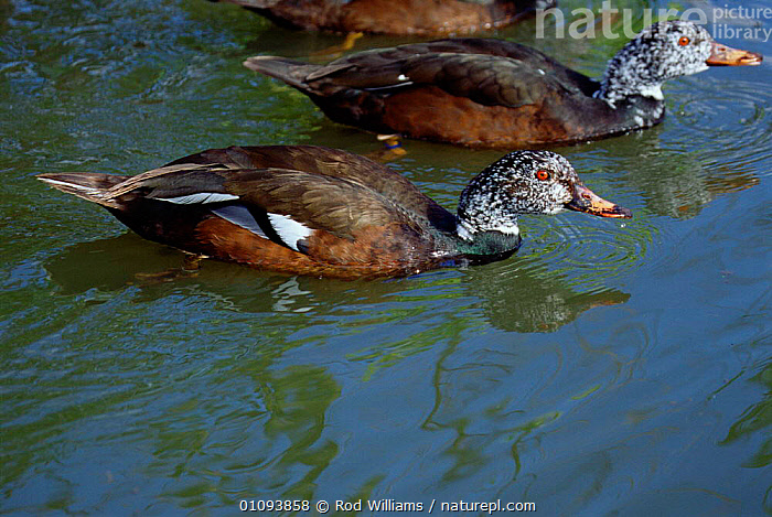 White winged wood ducks female (foreground) + male {Asarcornis scutulata} Southeast Asia.  ,  ASIA, BIRDS, DUCKS, ENDANGERED, FEMALES, MALES, VERTEBRATES, WATERFOWL  ,  Rod Williams