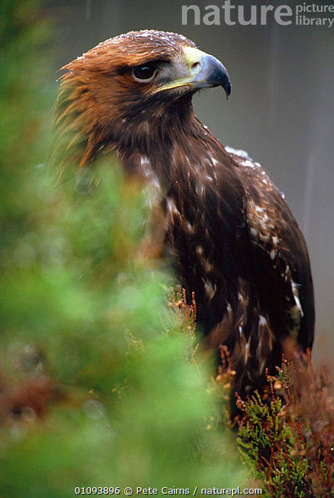 Golden eagle {Aquila chrysaetos}  Highlands, Scotland, UK  ,  BIRD,,BIRDS,CAPTIVE,EUROPE,HIGHLANDS,ONE,PCA,PORTRAIT,PORTRAITS,RAPTOR,SCOTLAND,UK,VERTICAL ,BIRDS OF PREY,UNITED KINGDOM,BRITISH,EAGLES, United Kingdom  ,  Pete Cairns