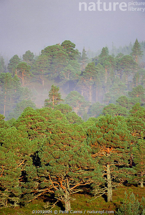Caledonian Scots pine forest with dawn mist. Strathspey, Highlands, Scotland, UK  ,  ANCIENT,BRITISH,CALEDONIAN,CONIFEROUS,DAWN,EUROPE,FOREST,MIST,PCA,PINE,PLANTS,SCOTTISH,TREES,UK,UNITED KINGDOM,VERTICAL,WOODLANDS, United Kingdom  ,  Pete Cairns