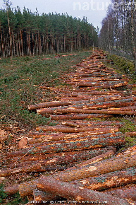 Timber from Scots pine forest Inshriach forest, Strathspey, Highlands, Scotland, UK  ,  BRITISH,CONIFEROUS,EUROPE,FOREST,FORESTRY,LANDSCAPES,LOGS,PCA,PLANTS,SCOTS,SOFTWOOD,TIMBER,TREES,TRUNKS,UK,UNITED KINGDOM,VERTICAL, United Kingdom  ,  Pete Cairns