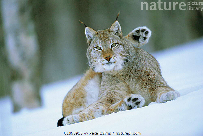 European lynx male grooming in snow {Lynx lynx} captive, Norway  ,  SCANDINAVIA,WINTER,MAMMALS,CARNIVORES,CATS,MALES,EUROPE,RESERVE, Scandinavia  ,  Pete Cairns