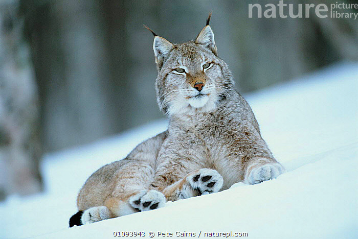 European lynx in snow {Lynx lynx} captive, Norway  ,  CAPTIVE,CARNIVORES,EUROPE,EUROPEAN,FOREST,HORIZONTAL,MAMMALS,NORWAY,ONE,PCA,PORTRAIT,PORTRAITS,SCANDINAVIA,SNOW,WINTER, Scandinavia  ,  Pete Cairns
