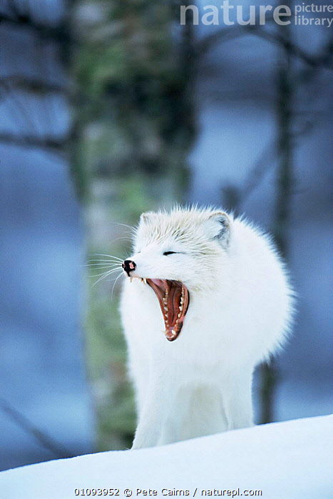Arctic fox yawning {Vulpes lagopus} Norway captive  ,  ARCTIC,CANIDS,CARNIVORES,EUROPE,FOXES,MAMMALS,MOUTHS,NORWAY,PORTRAITS,SNOW,TEETH,VERTEBRATES,VERTICAL,yawning,Scandinavia,Dogs, Scandinavia, Scandinavia, Scandinavia, Scandinavia,Catalogue1  ,  Pete Cairns