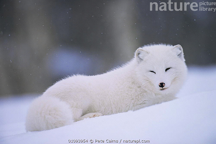 Arctic fox resting in snow {Vulpes lagopus} captive Norway  ,  ARCTIC,CANIDS,CARNIVORES,EUROPE,FOXES,HORIZONTAL,MALES,MAMMALS,NORWAY,SNOW,VERTEBRATES,Scandinavia,Dogs, Scandinavia  ,  Pete Cairns