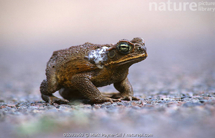 Giant toad showing poison from glands {Bufo marinus} Townsville, Queensland, Australia  ,  AMPHIBIANS, Anura, BEHAVIOUR, defence, DEFENSIVE, excretion, poison, POISONOUS, TOADS, TOXIC, VERTEBRATES  ,  Mark Payne-Gill