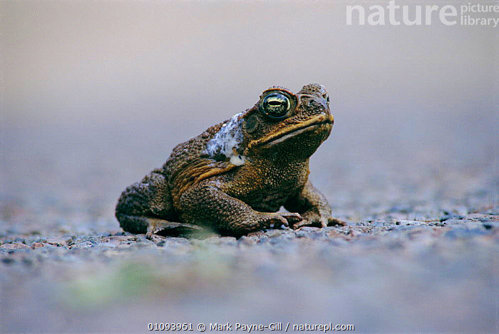 Giant / Cane toad showing poison excreted from glands {Bufo marinus} Queensland,  ,  AMPHIBIANS, Anura, AUSTRALIA, POISONOUS, TOADS, VERTEBRATES  ,  Mark Payne-Gill