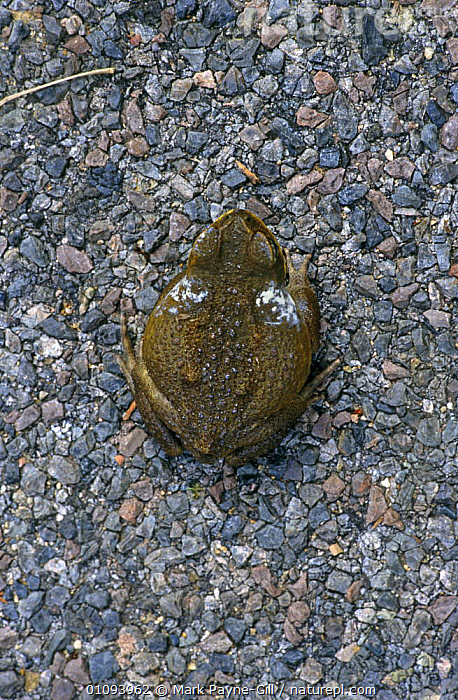 Giant toad showing poison from glands {Bufo marinus} Townsville, Queensland, Australia  ,  AMPHIBIANS, Anura, AUSTRALIA, BEHAVIOUR, DEFENSIVE, excretion, POISONOUS, TOADS, TOXIC, VERTEBRATES, VERTICAL  ,  Mark Payne-Gill