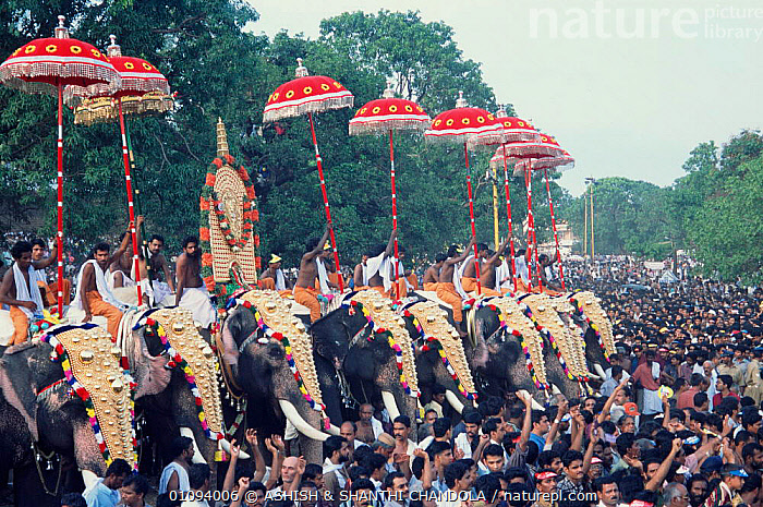 Pooram procession with decorated Elephants, Thrissur, Kerala, India  ,  35,AC,ASHISH,ASIA,CAPTIVE,CHANDOLA,CROWDS,DECORATED,ELEPHANTS,GROUPS,HORIZONTAL,INDIAN SUBCONTINENT,MAMMALS,PEOPLE,POORAM,PROBOSCIDS,PROCESSION,RELIGIOUS,SHANTHI,THRISSUR,TRADITIONAL,UMBRELLA,INDIAN-SUBCONTINENT,INDIA  ,  ASHISH & SHANTHI CHANDOLA