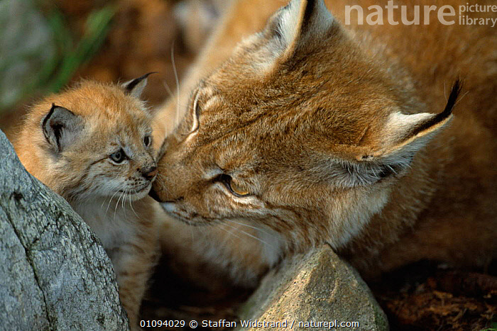 European lynx with cub {Lynx lynx} captive Norway  ,  MAMMALS,YOUNG,WOODLANDS,SNIFFING,FAMILIES,EUROPE,CARNIVORES,BABIES,CUTE,CARING,CATS  ,  Staffan Widstrand