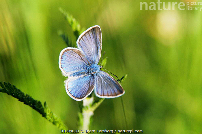 Common blue butterfly {Polyommatus icarus} male, Sweden  ,  ARTHROPODS,BLUE,BUTTERFLIES,EUROPE,HORIZONTAL,INSECTS,INVERTEBRATES,LARGE,LEPIDOPTERA,SWEDEN,VERTICAL,Scandinavia  ,  Bjorn Forsberg