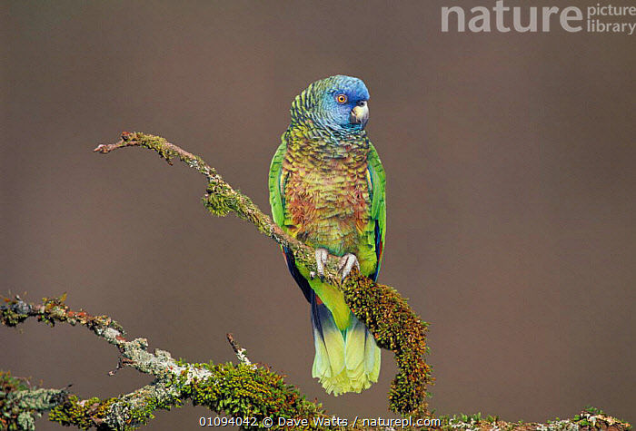 St Lucia parrot {Amazona versicolor} Endangered species found only on St Lucia, Lesser Antilles, Caribbean.  ,  BIRD,BIRDS,CAPTIVE,COLOURFUL,DAVE,DWA,RARE,THREATENED,VERTICAL  ,  Dave Watts