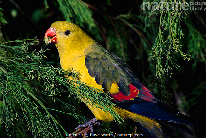 Male Regent parrot {Polytelis anthopeplus} feeding on seeds on tree, native to South East and South West Australia  ,  AUSTRALASIA,BIRD,BIRDS,COLOURFUL,DWA,EATING,HORIZONTAL,MALES,PARROTS,PLUMAGE,SE,SW,TREES,YELLOW,PLANTS  ,  Dave Watts