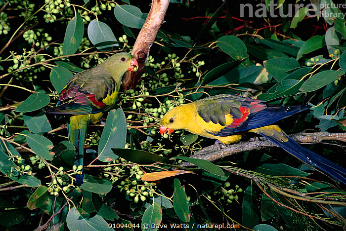Pair of Regent parrots {Polytelis anthopeplus} feeding in tree on seeds and fruit, native to South East & South West Australia. Male on the right; female on left.  ,  AUSTRALASIA,BIRD,BIRDS,COLOURFUL,DWA,EATING,FEMALES,HORIZONTAL,MALE FEMALE PAIR,MALES,PAIR,PARROT,PLUMAGE,SE,SW,TREES,TWO,PLANTS  ,  Dave Watts