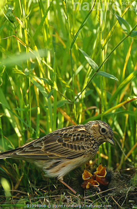 Skylark at nest with chicks (Alauda arvensis) Sweden  ,  BABIES,BIRDS,CALLING,CHICKS,EUROPE,FAMILIES,FEEDING,JUVENILE,LARKS,NESTS,PARENTAL,SWEDEN,VERTEBRATES,VERTICAL,VOCALISATION,YOUNG,Scandinavia  ,  Bjorn Forsberg