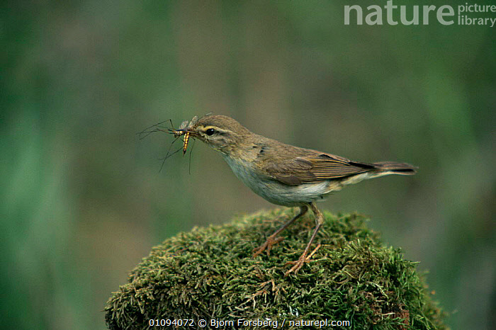 Willow warbler with insect prey {Phylloscopus trochilus} Sweden  ,  BIRDS,EUROPE,FEEDING,INSECTS,PASSERINES,SCANDINAVIA,SWEDEN,VERTEBRATES,VERTICAL,WARBLERS,Invertebrates  ,  Bjorn Forsberg