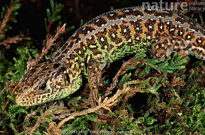 Sand lizard male in breeding colour {Lacerta agilis} Purbeck, Dorset, UK  ,  BRITISH,DORSET,ENGLAND,EUROPE,HEATHLAND,HORIZONTAL,MALES,PURBECK,REPTILES,TP,UK,WILDLIFE,UNITED KINGDOM,LIZARDS  ,  Tony Phelps