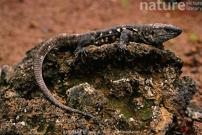 El Hierro giant lizard {Gallotia simonyi} El Hierro Canary Islands Spain  ,  EUROPE,LIZARDS,PROFILE,REPTILES  ,  Jose B. Ruiz