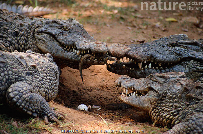 Nile crocodile carries newly hatched young in mouth {Crocodylus niloticus} Madagascar. Nile crocodiles bury their eggs in sand and when the babies hatch they call out until the mother digs them up and carries them in her mouth to the water..  ,  BABIES,CAPTIVE,CAREFUL,CARING,CARRYING,EGGS,FAMILIES,GENTLE,GROUPS,HORIZONTAL,MADAGASCAR,MOUTH,MOUTHS,MSM,PARENTAL,PROTECTION,PROTECTIVE,REPTILES,YOUNG,CROCODYLIA, CROCODILES  ,  Martin H Smith