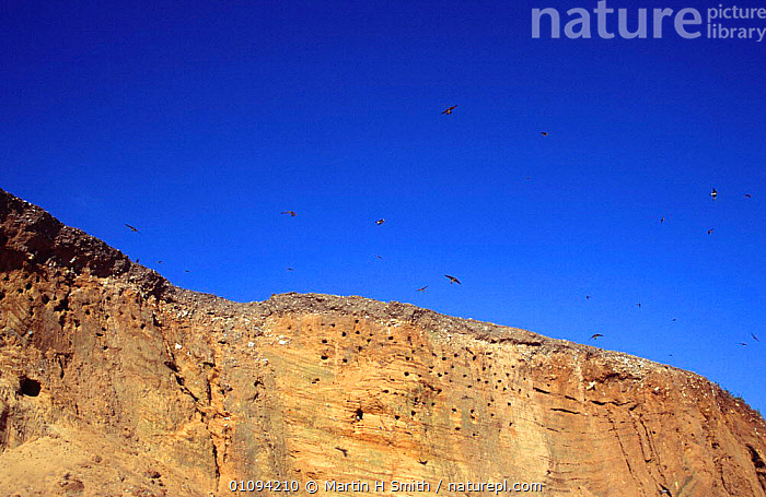 Sand martins flying above cliffs with nest holes {Riparia riparia} Norfolk, UK  ,  BIRDS,CLIFFS,COASTS,COLONIES,ENGLAND,EUROPE,FLYING,GROUPS,NESTS,PASSERINES,SANDBANK,SWALLOWS,UK,VERTEBRATES,United Kingdom,Geology,British  ,  Martin H Smith