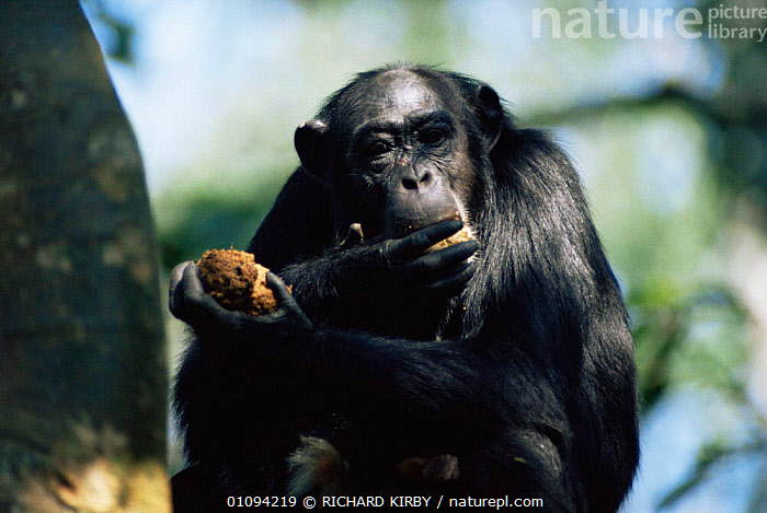 Chimpanzee feeding on ripe figs in tree {Pan troglodytes} Kibale forest, Uganda  ,  AFRICA,EAST AFRICA,ENDANGERED,FEEDING,FRUIT,GREAT APES,HORIZONTAL,MAMMALS,PRIMATES,RESERVE,VERTEBRATES,Plants,Great apes  ,  RICHARD KIRBY