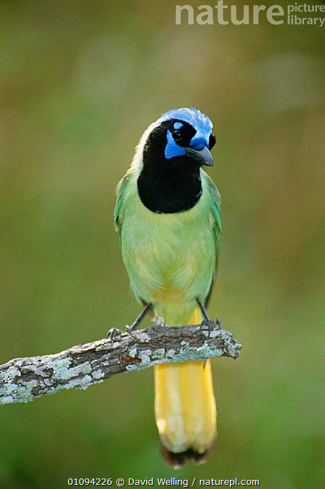 Green jay perched {Cyanocorax yncas} Texas, USA  ,  BIRD,BIRDS,COLOURFUL,DW,NORTH AMERICA,ONE,USA,VERTICAL,CORVIDS  ,  David Welling